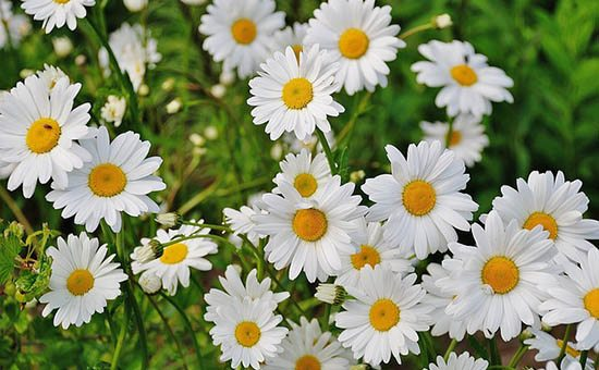 Summer 2016: Highlights in CU Neurosurgery image of daisies.